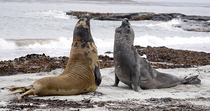 elephant seals, Sea Lion Island, Falkland Islands by Vladislav T, Shutterstock