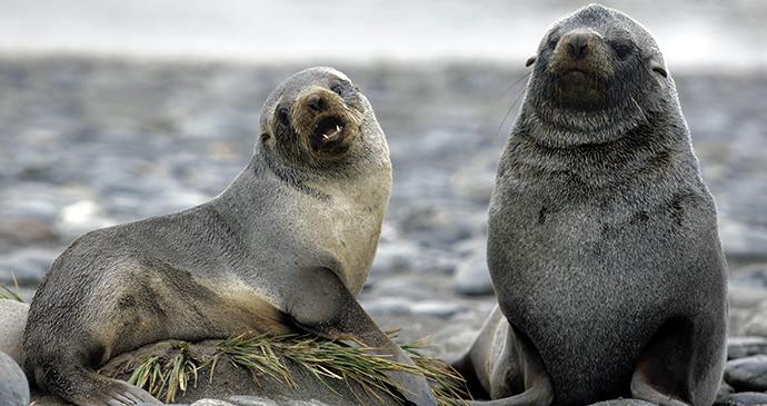 Fur seal, Falkland Islands by Moritz Buchty, Shutterstock