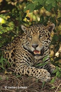 Jaguar Pantanal by James Lowern