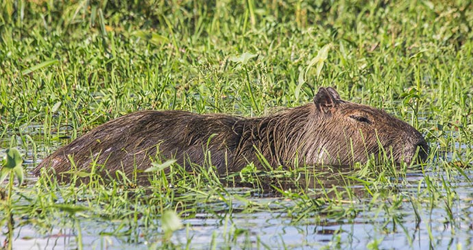 Capybara, Argentina by Marc Venema Shutterstock