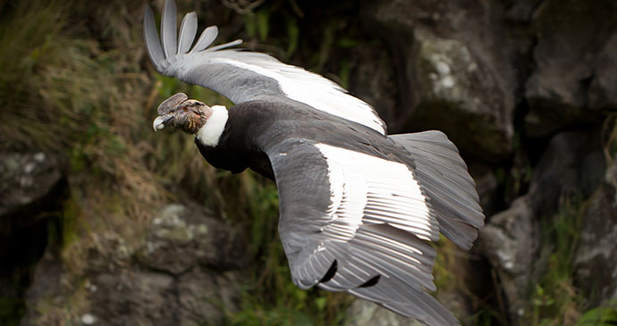 Andean condor Chile by Ammit Jack Shutterstock