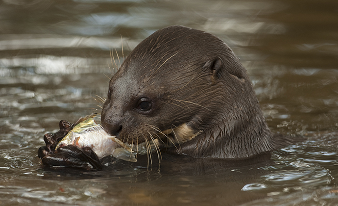 Giant otter eating fish Guyana by Guyana Tourism Authority