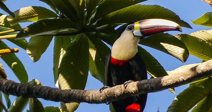 Red-billed toucan Guyana by M M, Wikimedia Commons