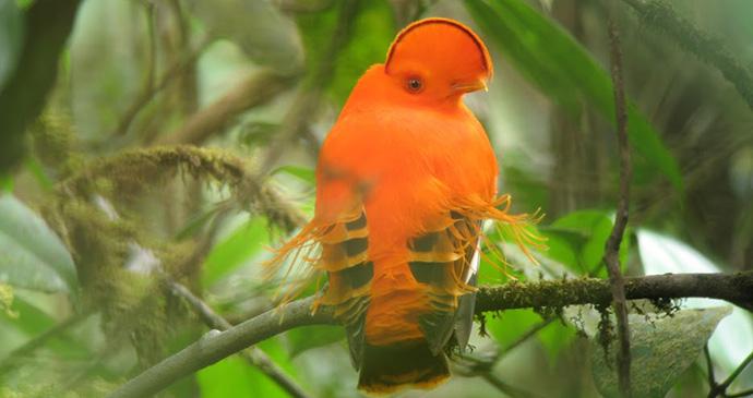 Guianan cock of the rock Guyana by Wilderness Explorers