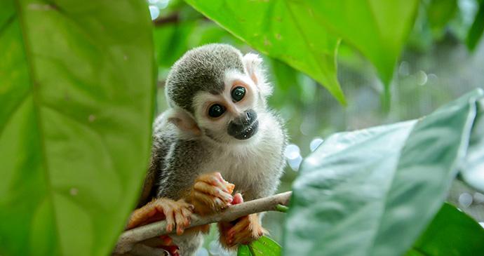 Squirrel monkey guyana by Hisham Abdullah, Shutterstock