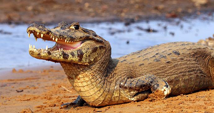 Yacare caiman, Pantanal Brazil by Sharp Photography, sharpphotography