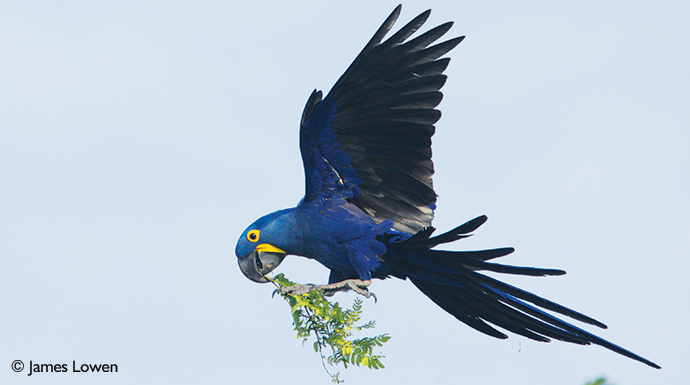 Hyacinth macaw Pantanal Brazil by James Lowen