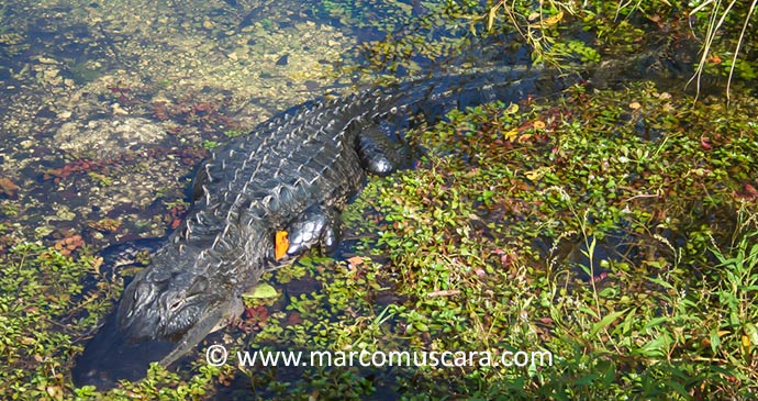 Caiman The Pantanal Paraguay South America by Marco Muscara best wetlands in the world