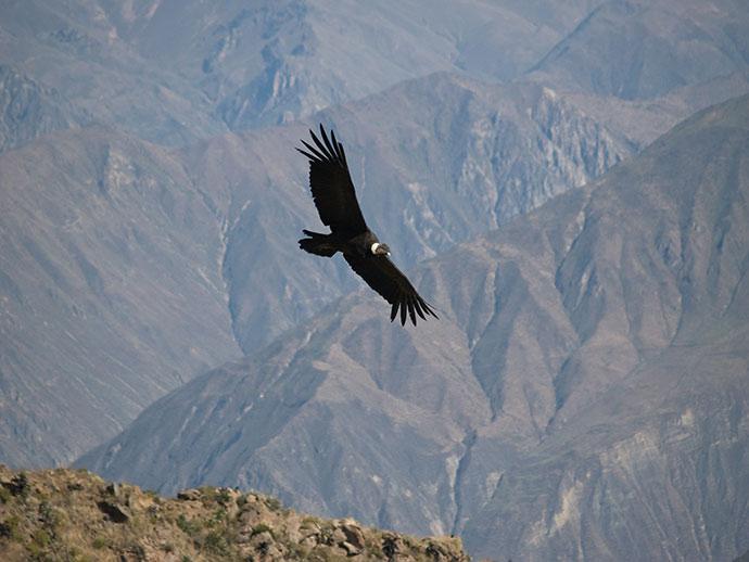 Andean condor Peru by Jarno Gonzalez Zarraonandia, Shutterstock