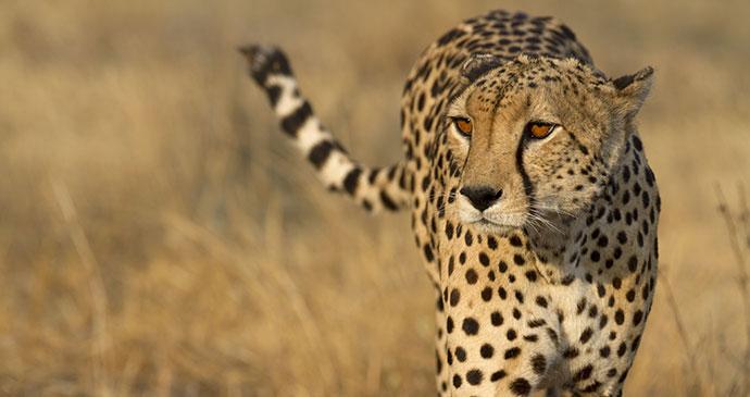 Cheetah, Kalahari Salt Pans, Botswana by Papa Bravo, Shuttershock