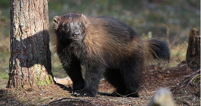 Wolverine, Kainuu, Finland, 52 European Wildlife Weekends by  Chris Townend/Wise Birding Holidays