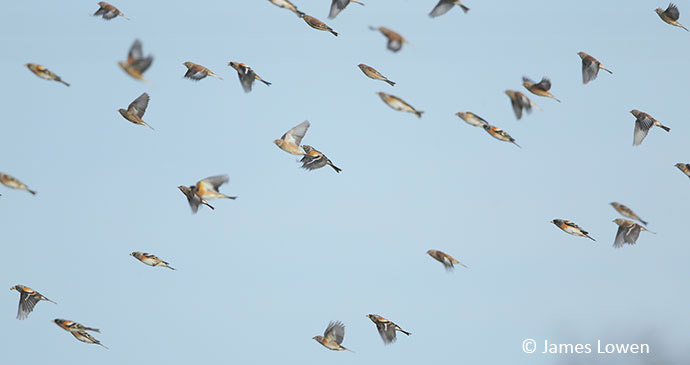 Bird migration, Falsterbro, Sweden, 52 European Wildlife Weekends by James Lowen