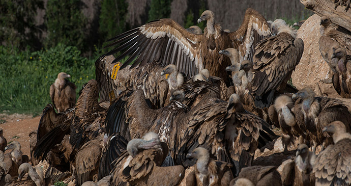 Griffon vultures, Spain by Rob Williams