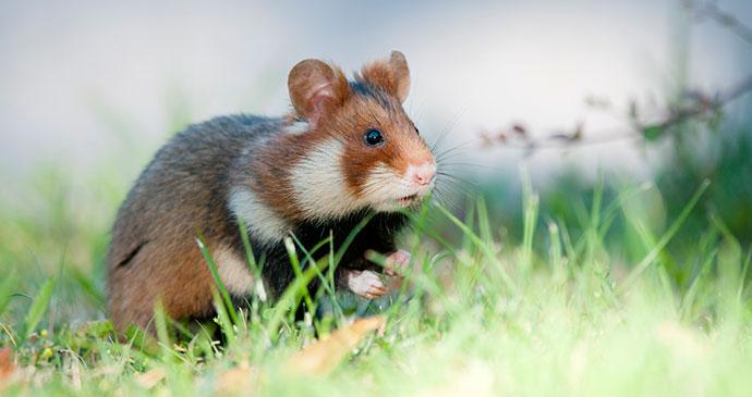 Black-bellied hamster, Vienna, Austria by Leander Khil, www.leanderkhil.com