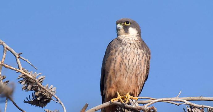 Eleonara's falcon, Algarve, Portugal by Conselleria de Medi Ambient i Mobilitat, Govern des Illes Balears, Wikimedia Commons