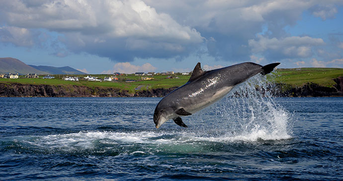 Fungie, common bottlenose dolphin, Dingle Harbour, County Kerry, Ireland by Cubanjunky, Dreamstime