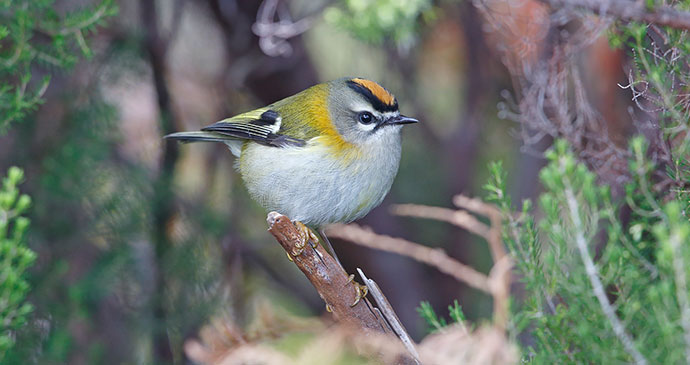 Madeiran firecrest, Madeira, Portugal by Jonathan Lethbridge