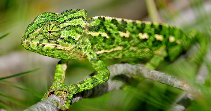 Mediterranean chameleon, Nerja, Spain by Stuart A. Reeves