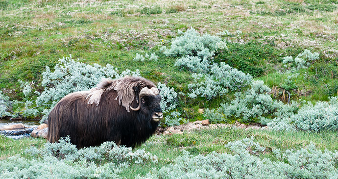 Musk ox, Dovrefjell, Norway, 52 European Wildlife Weekends by Kurkul, Shutterstock