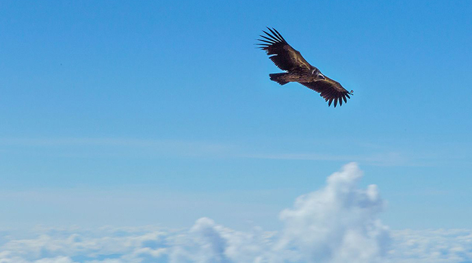 Flying golden eagle, by Shaswat Nimesh, Wikimedia Commons
