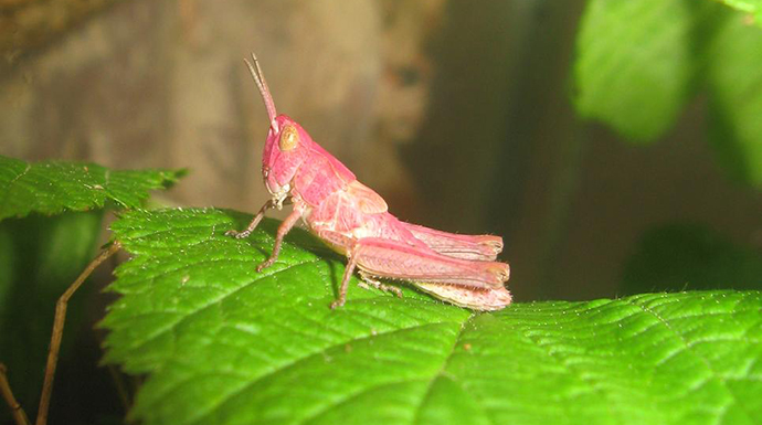 Pink grasshoppers by Hirvenkurpa, Wikimedia Commons
