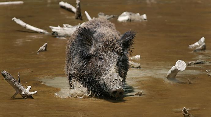 Wild boar in natural habitat by Makro Freak, Wikimedia Commons