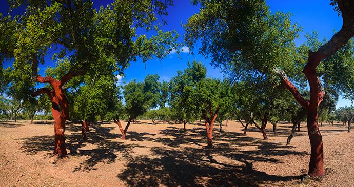 Cork trees Parque Natural da Serra de Sao Mamede Alentejo Portugal by alexilena Shutterstock