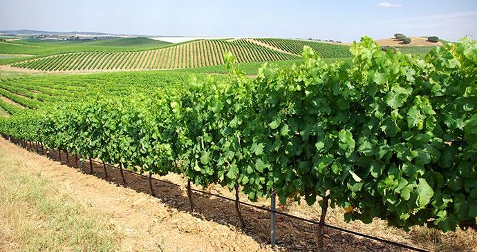 Vineyard Alentejo Portugal by Inacio Pires Shutterstock