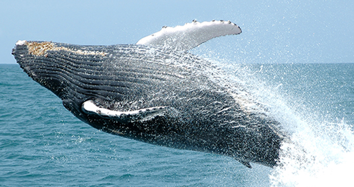Humpback whale, the Azores, Portugal by Sunvil
