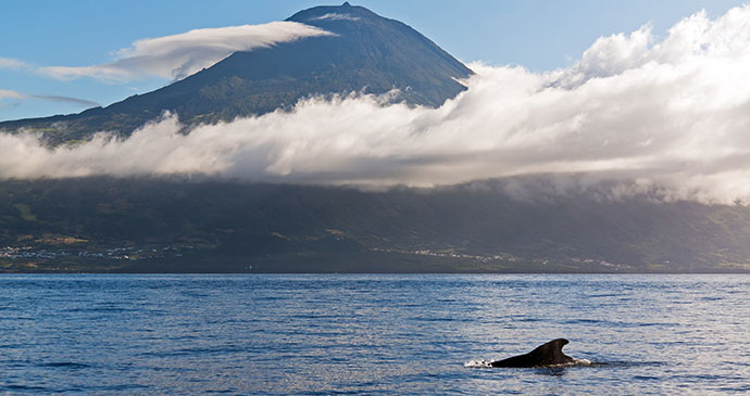 Sperm whale Azores Europe by Dreamstime