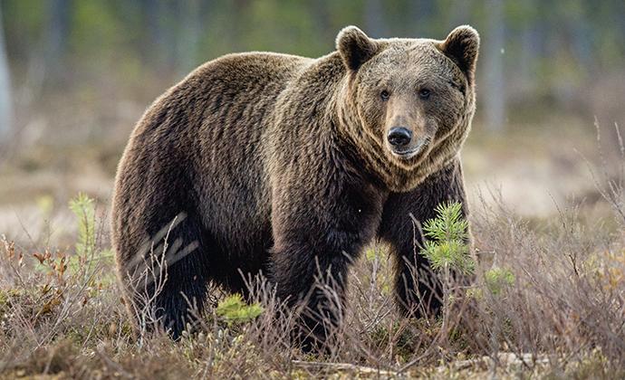 Brown bear Belarus by Sergey_Uryadnikov, Shutterstock