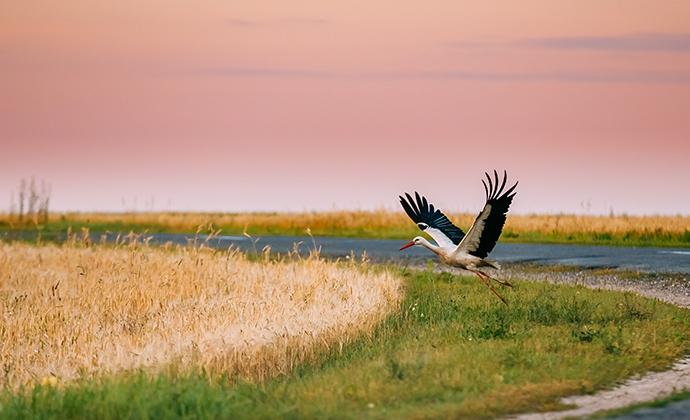 white stork Belarus, Europe by Grisha Bruev Shutterstock
