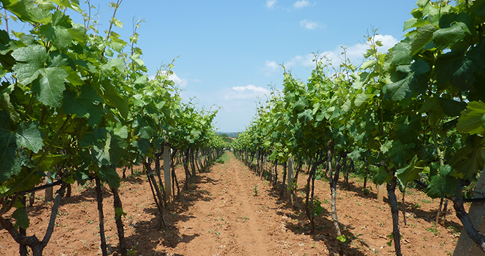 Vineyard, Herzegovina, Bosnia by Sean MacEntee, Wikimedia Commons