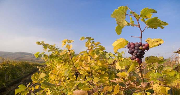 Low Carpathian Vineyard Bratislava Slovakia by Maros Markovic, Shutterstock
