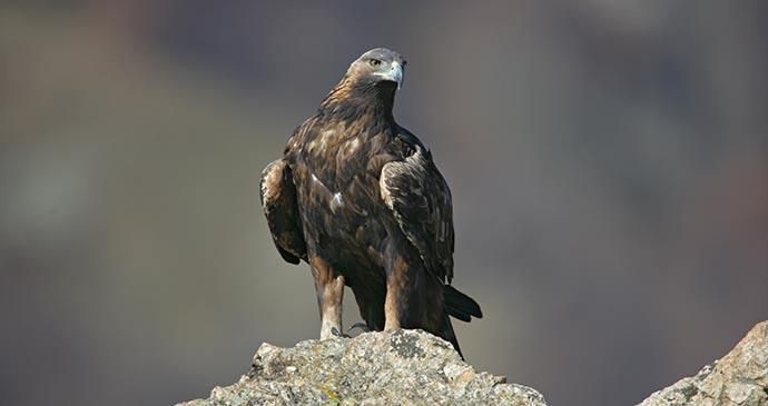 Golden eagle Bulgaria by Erni Shutterstock
