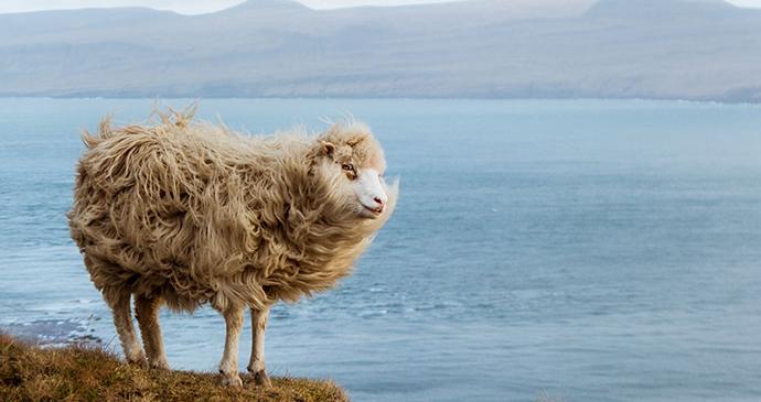 sheep, Kirkjubour, Faroe Islands by Michelle Geerardyn