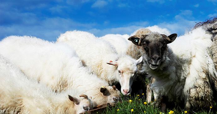 Sheep, Faroe Islands by VisitFaroeIslands
