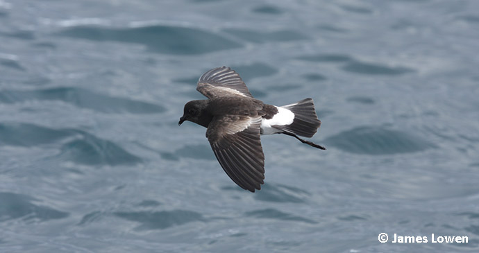 storm petrel by James Lowen