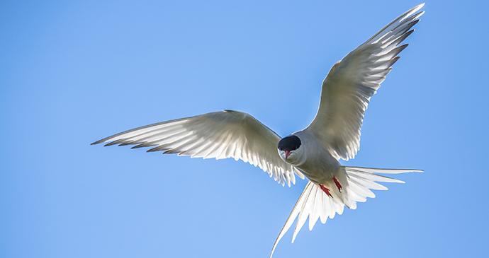 Arctic tern by Rudmer Zwerver, Shutterstock