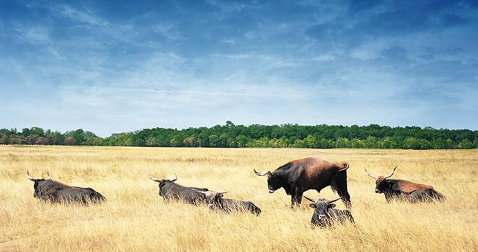 European buffalo Hortobagy Hungary Europe by waku Shutterstock
