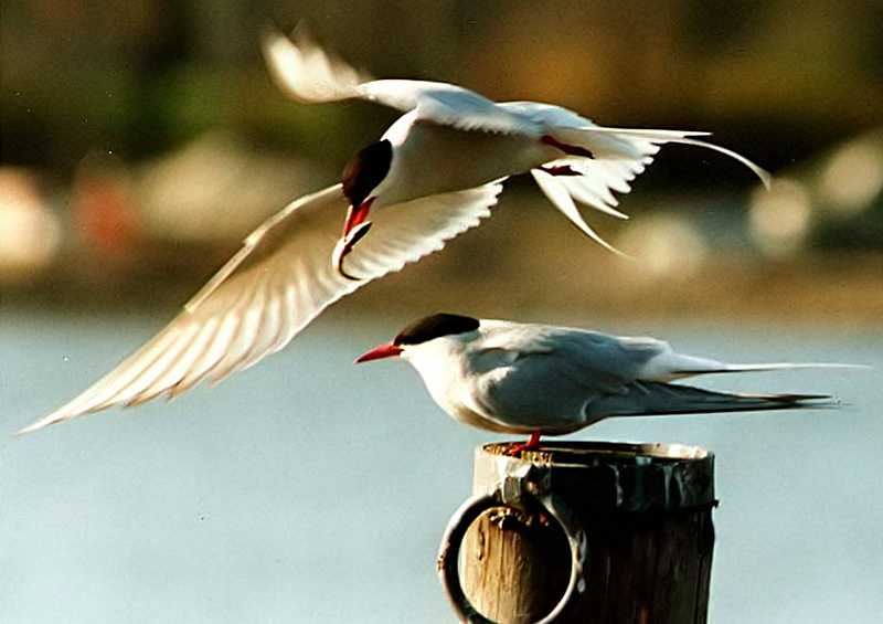 Arctic terns, Iceland by Toivo Toivanen and Tina Toppila/Wikipedia