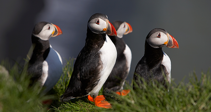 Puffins Iceland VisitSouthIceland