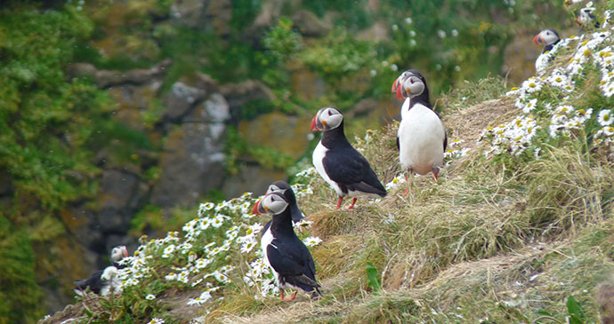 Puffins Grimsey Iceland by Smiley.toerist, Wikimedia Commons