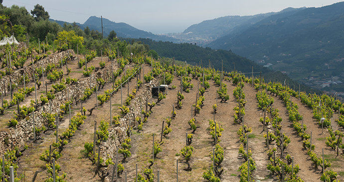 Rossesse vines, Liguria, Italy by Photo Archive Regional Agency in Liguria