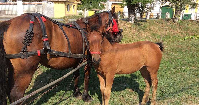 Horses, Transylvania, Romania by Adriana Mitsue Ivama Brummell
