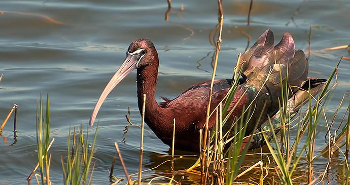 Glossy ibis, Serbia by Cassandra Thomas, Wikimedia Commons