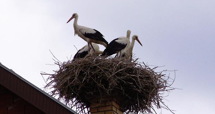 Storks, Baranda, Serbia by Micki, Wikimedia Commons