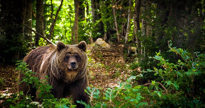 Brown bear Bosnia Via Dinarica by Adnan Bubalo