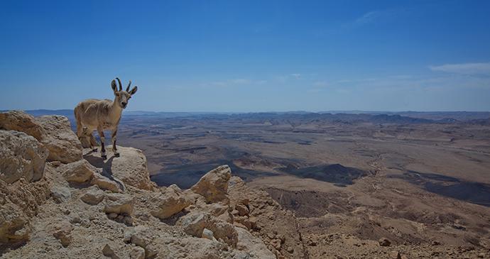 Ibex Negev Desert Israel by Dafna Tal, IMOT