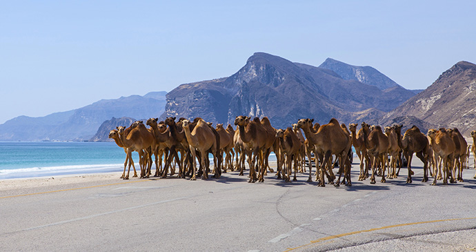 Camels on road, Dhofar, Oman by Jurate Buiviene, Shutterstock